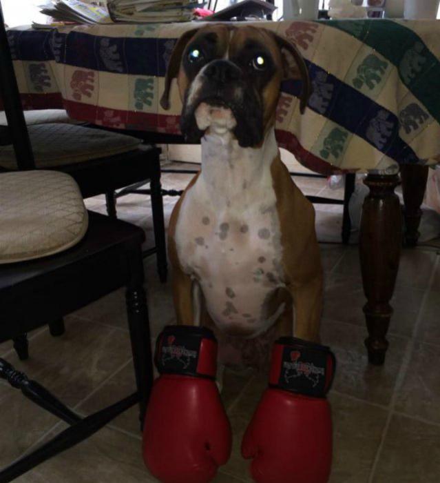Боксер должен быть в перчатках!
