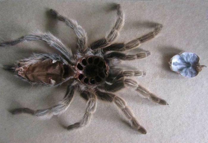 Сброшенная кожа тарантула.