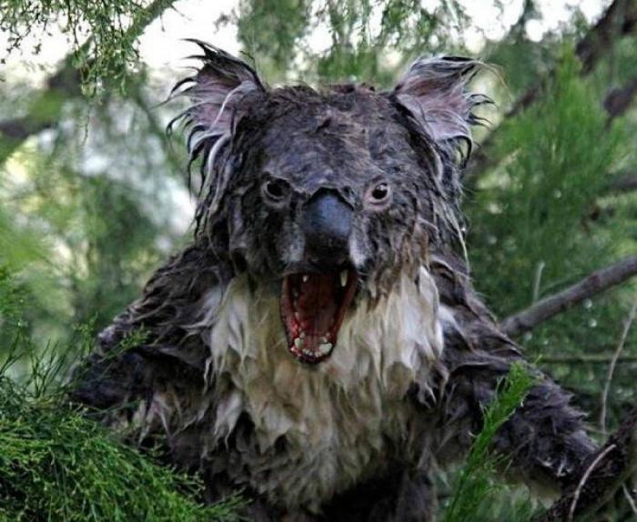 Мокрая коала.