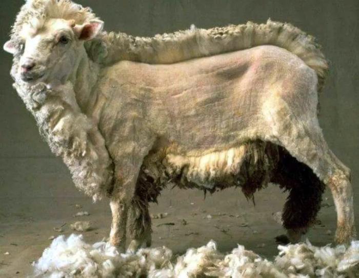 «Вы даже не представляете как много шерсти у овцы!» | Фото: watson - Bild.