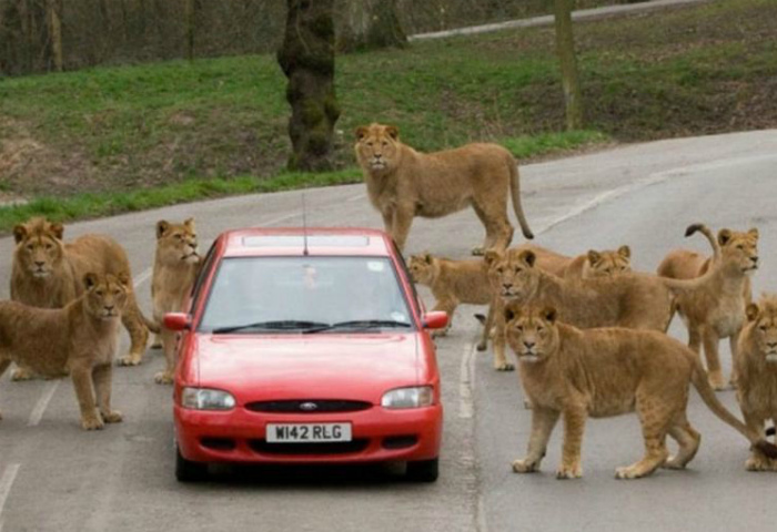 Львы ловят попутку. | Фото: Pinterest.