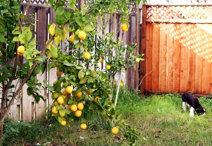 Лимонное дерево в саду.| Фото: LiveInternet.