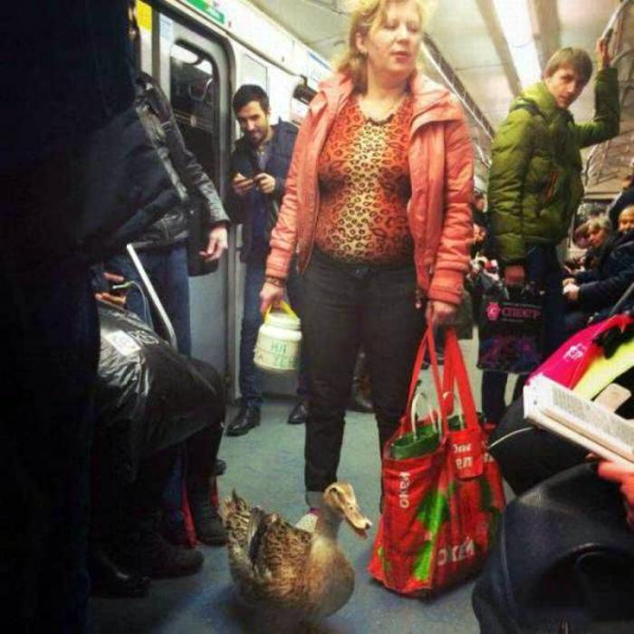 Утка в городском транспорте.