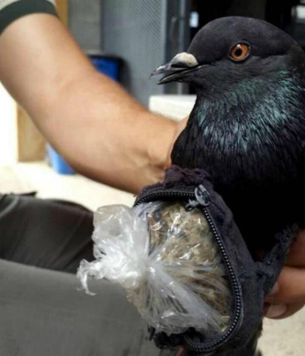 Почтовый голубь с сумочкой наркотиков.
