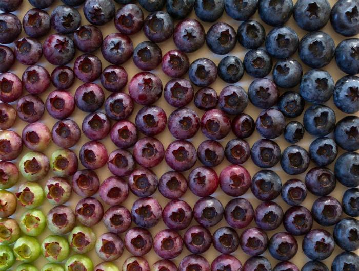 Ягоды черники, сортированные по цветам и оттенкам.