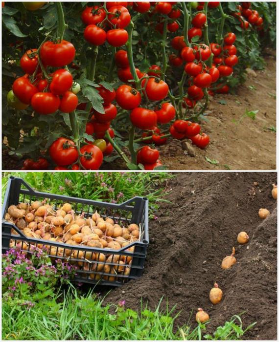 Картошка помидору не пара. | Фото: Myslo, imarketsemyan.com.ua.