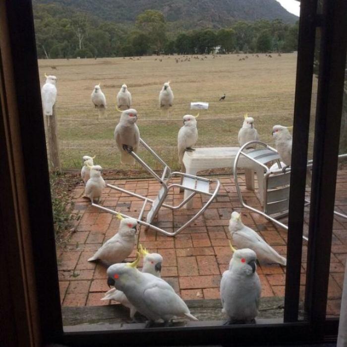 Подозрительное собрание попугаев во дворе.