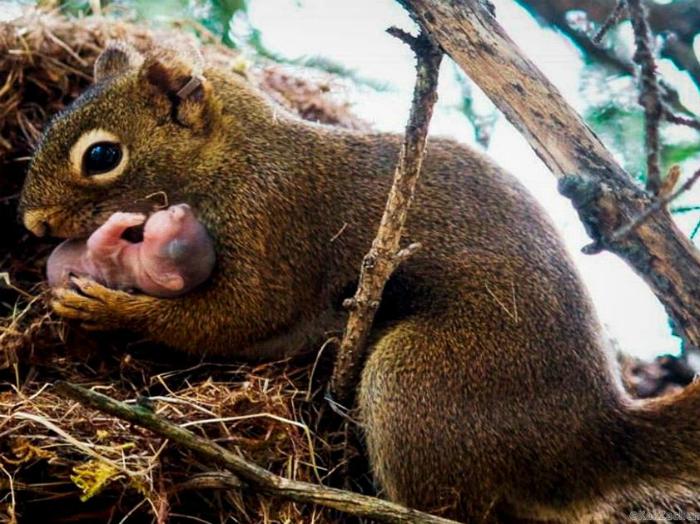 Белка с новорожденным бельчонком.