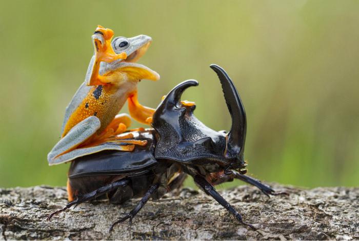Лягушка оседлала жука-носорога.