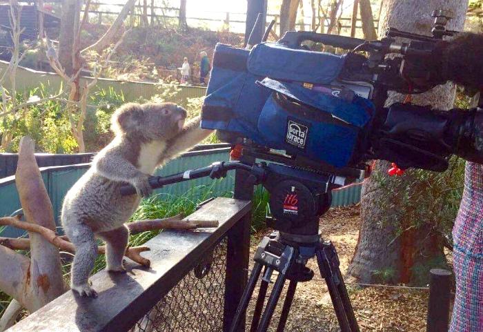 Просто коала, которая раздает советы оператору. | Фото: Reddit.