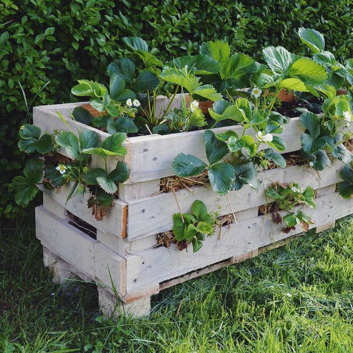 Клубничная клумба из деревянного ящика.   Фото: Домашний Очаг.