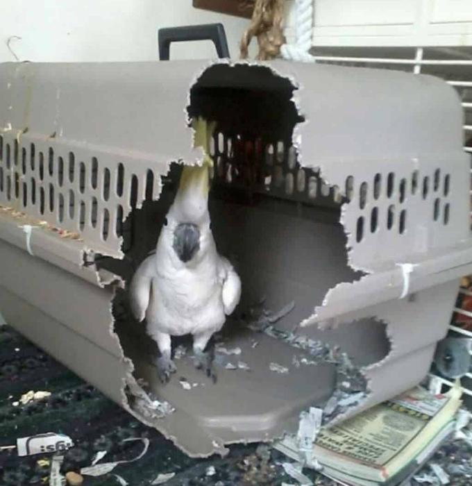 Я начинаю побаиваться своего попугая. | Фото: Demotywatory.