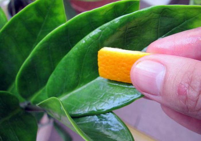 Цедра апельсинов и лимонов.