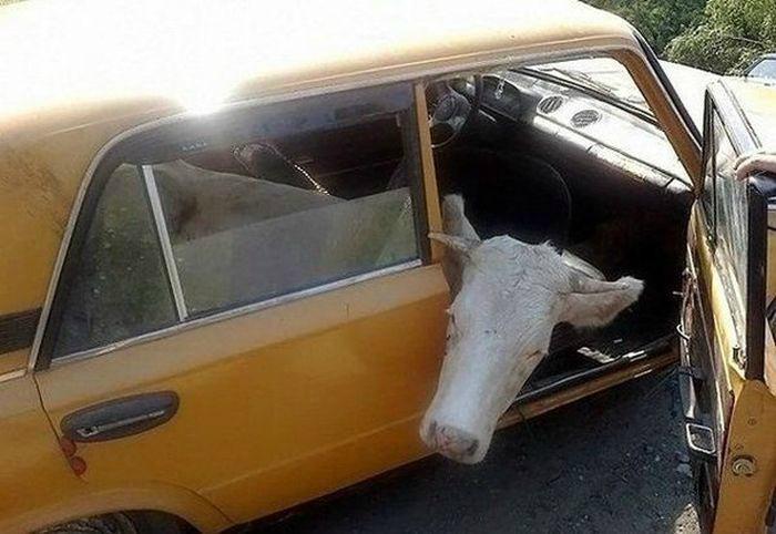 Необычный пассажир.   Фото: Pinterest.