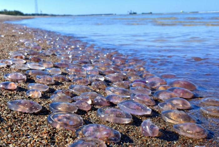 Медузы полностью испаряются на солнце.