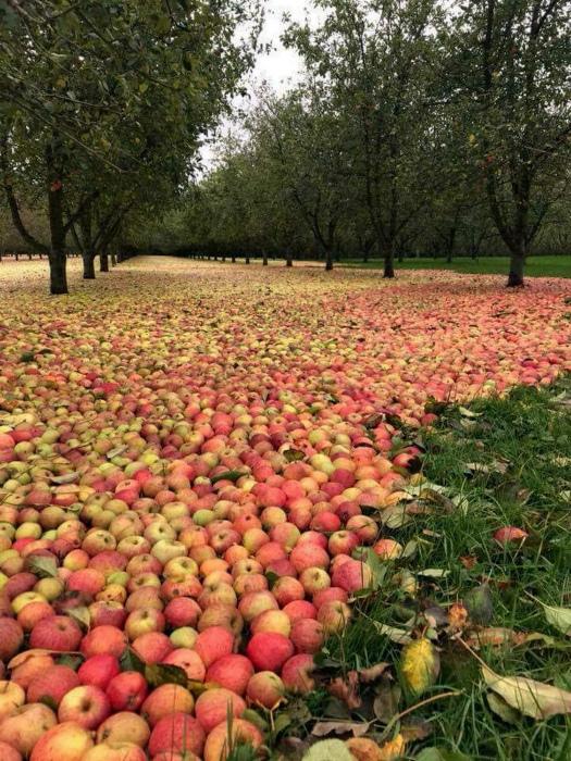 «Скромный» урожай яблок.