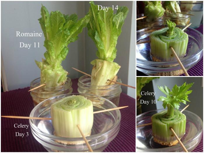 Если поставить корешки в воду из них вырастет новое растение.