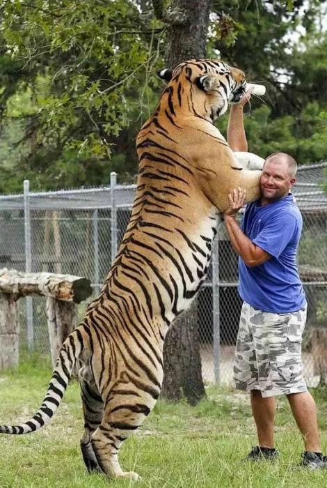 Желание тигра - закон! | Фото: Пикабу.