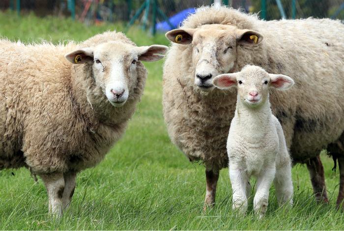 Овцы запоминают морды других овец.