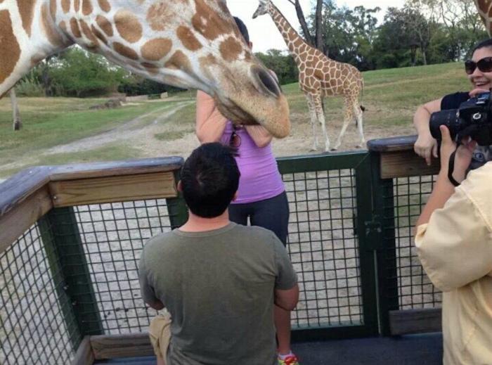 История о том, как жираф стал частью предложения руки и сердца.
