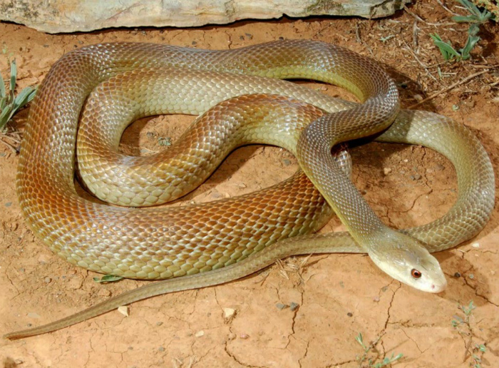 Австралия - родина самых опасных змей.