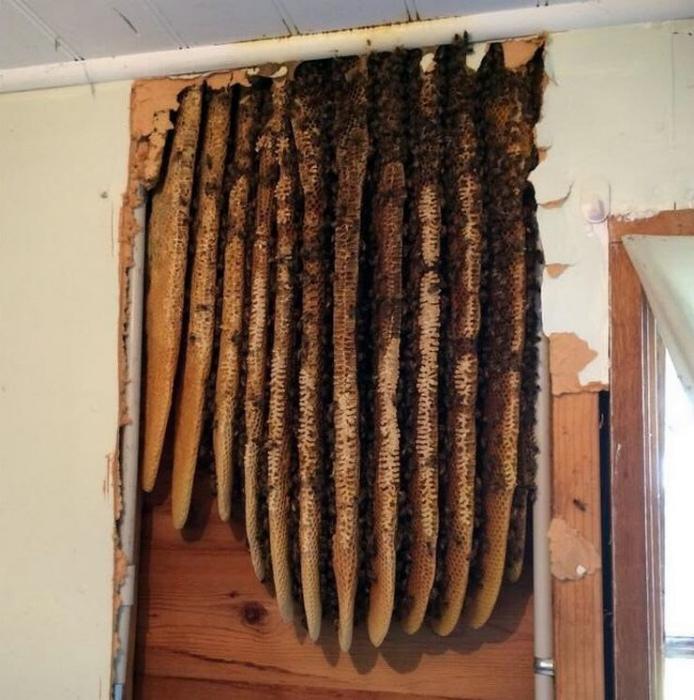 Пчелиный улей за стеной.