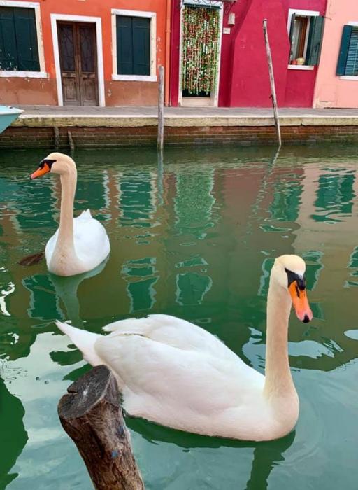 Теперь в Венеции экскурсии водят лебеди! | Фото: Ntv.