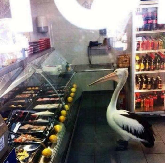 Пеликан в рыбном отделе. | Фото: Reddit.