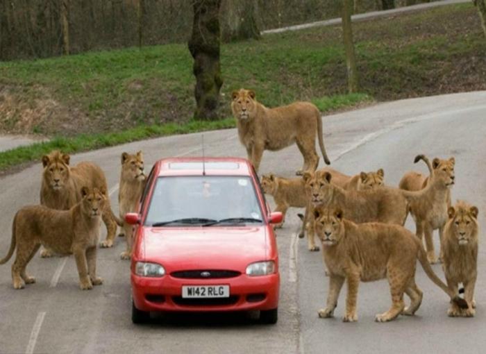 Львы пограничники.