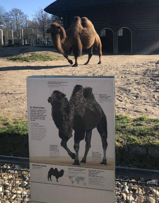 По мнению Novate.ru, это идеал среди верблюдов. | Фото: Zefirka.
