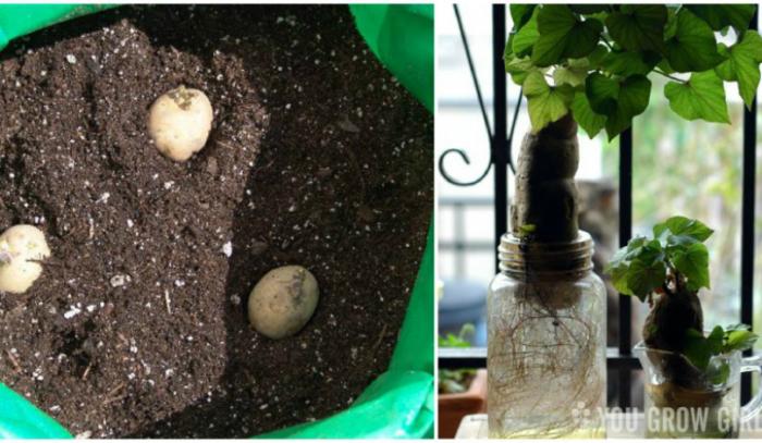 Можно прорастить картофель из клубней с глазками. Для этого клубни нужно посадить в землю или просто поставить в воду.