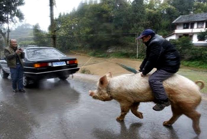 Верхом на свинье.