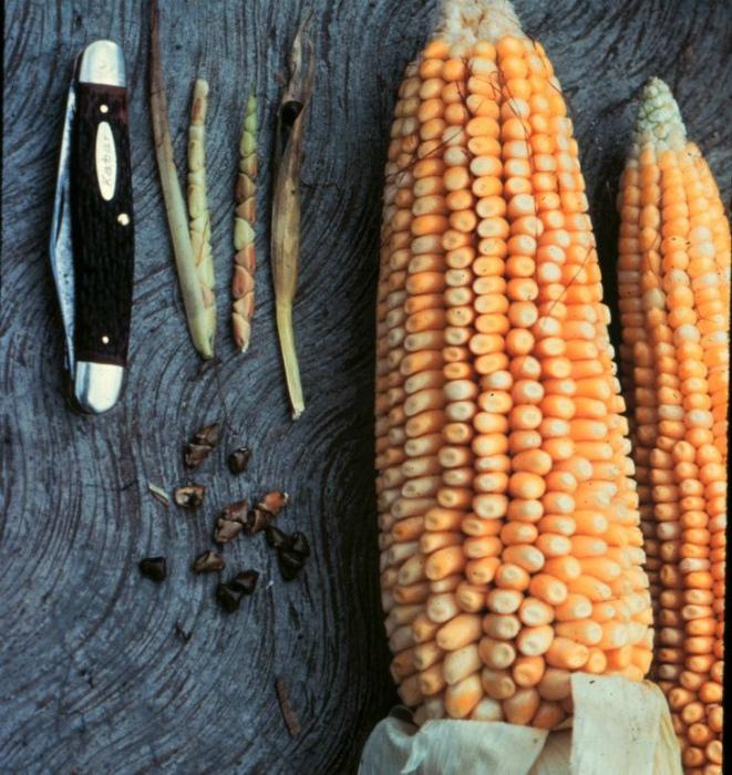 Кукуруза 9000 лет назад. | Фото: AdMe.