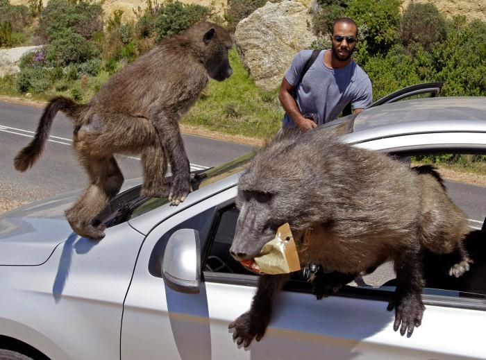 Novate.ru рекомендует не шутить с обезьянами.| Фото: Daily Record.