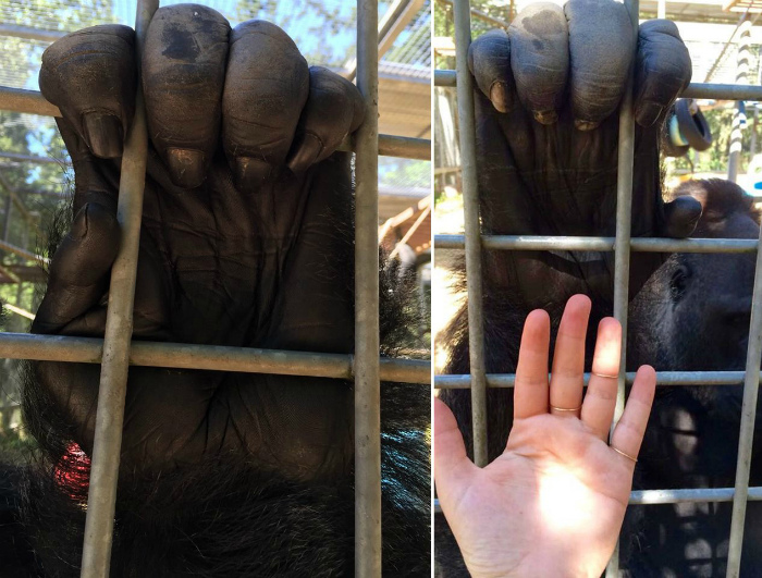 Ладонь гориллы.