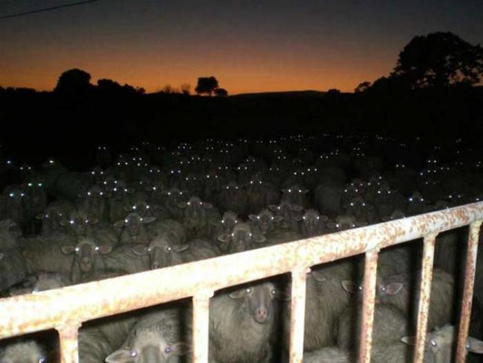 Множество овец на пастбище ночью.