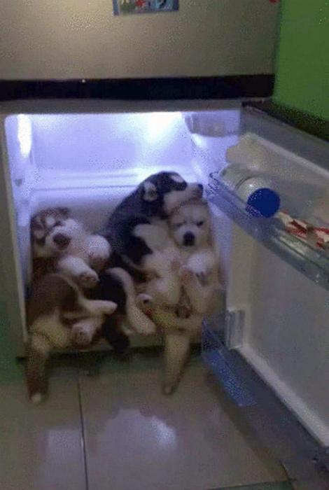 Сложили пушистиков в холодильник.
