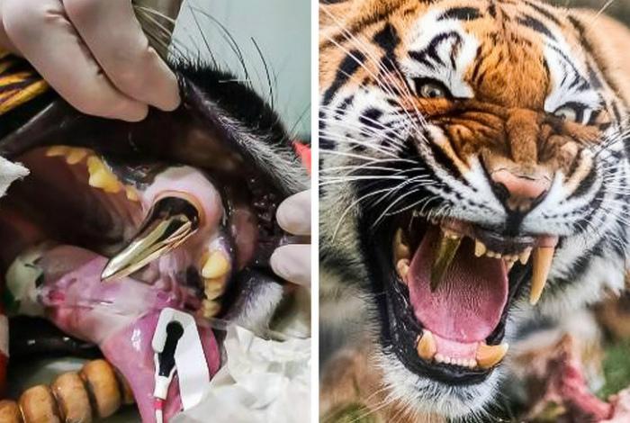 Тигрица с золотым зубом. | Фото:Dama.bg.