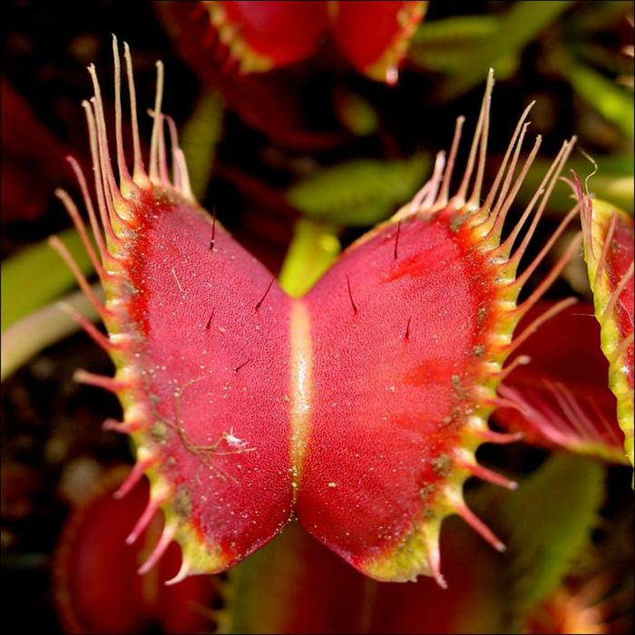 Хищное насекомоядное растение.