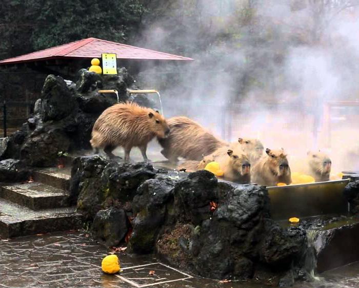 Жизнь капибар в Японии. | Фото: Lost At E Minor.
