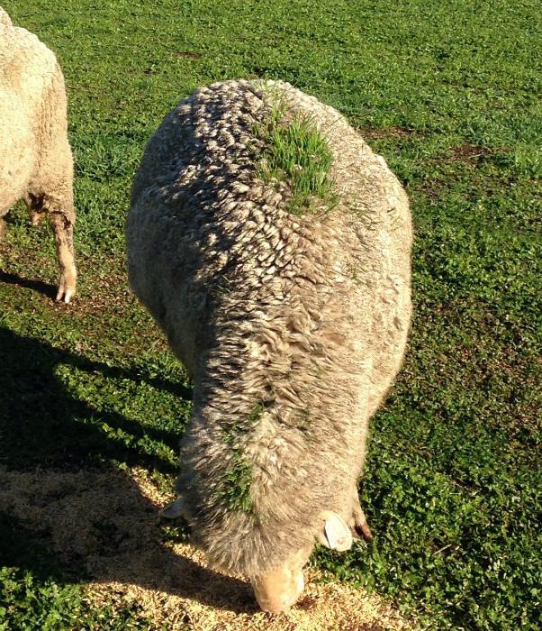 Травка на спине у овцы.