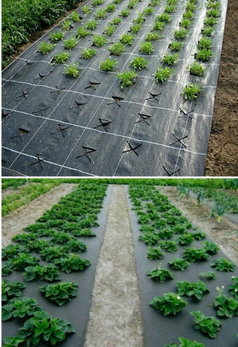 Растения под агроволокном. | Фото: Pinterest.