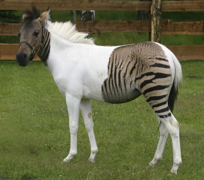 Настоящее чудо природы — помесь зебры и пони.