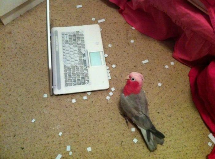 Novate.ru считает, что эта птичка разбирается в компьютерах. | Фото: Taringa!