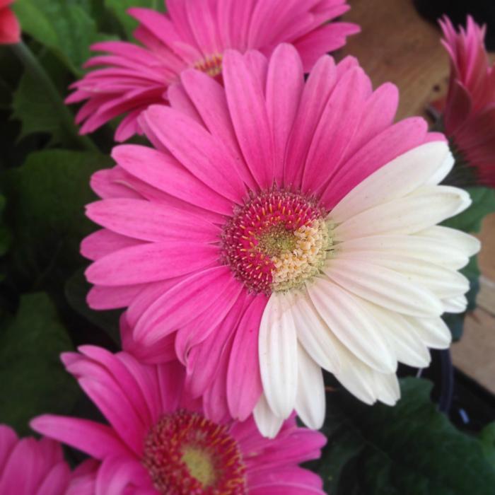 Розовый цветок с несколькими белыми лепестками.