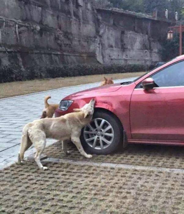 Машину покусали собаки.
