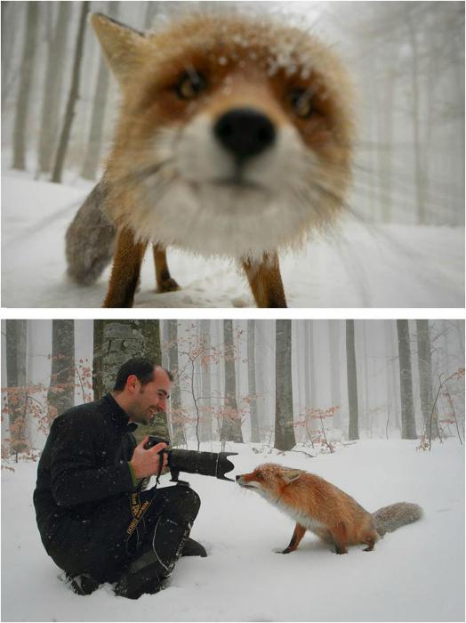 Просто любопытная лиса.