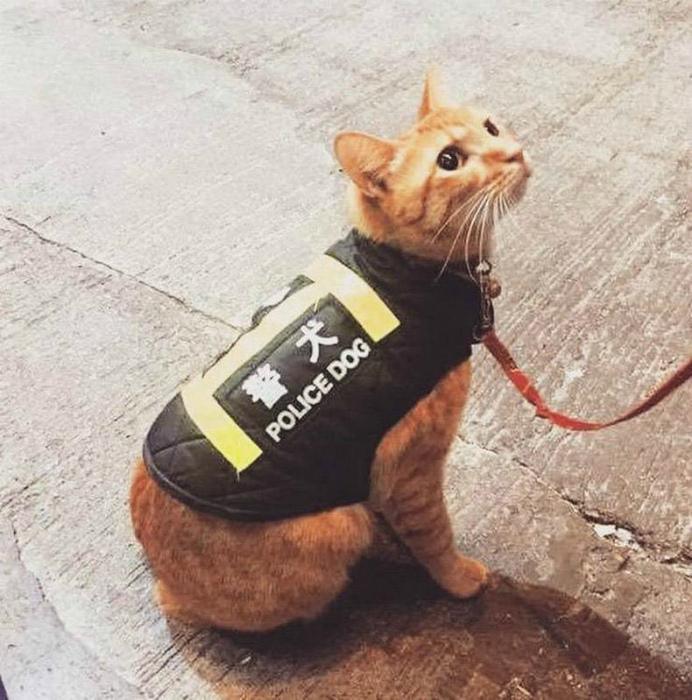 Кот в жилете « полицейская собака». | Фото: VKmag.