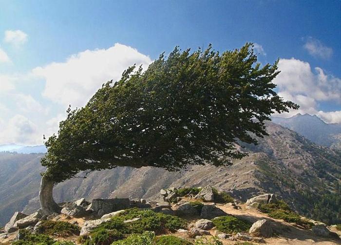 Согнутое дерево.