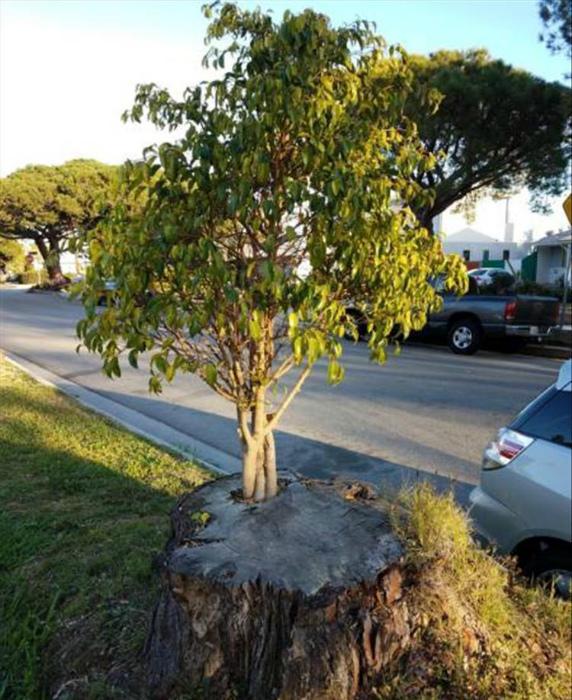 Молодое дерево, растущее из пня.